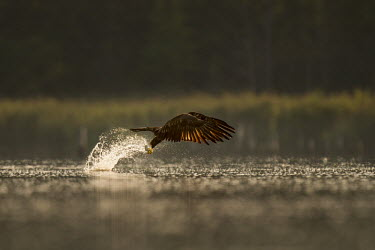 A juvenile bald eagle grabs a fish out of the water with a large splash as the early morning sun shines from behind the bird Bald eagle,eagle,eagles,raptor,bird of prey,brown,fish,fishing,flying,juvenile,morning,reflection,splash,sunlight,water drops,water level,white,Haliaeetus leucocephalus,Accipitridae,Hawks, Eagles, Kit