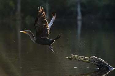 A double-crested cormorant takes off from a log in the water with its wings outstretched with a sunny backlit glow cormorant,bird,birds,seabird,Double-Crested Cormorant,Log,action,backlight,brown,feet,flying,glow,movement,orange,stump,take off,water,water drop,water droplets,wings,Double-crested cormorant,Phalacro