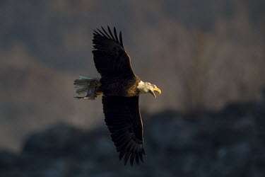 A bald eagle calls out loudly as it flies by with a fish in its talons as the sun shines on early in the morning Bald eagle,eagle,eagles,raptor,bird of prey,brown,calling,dramatic,early,fish,flying,morning,sunlight,sunny,white,wings,Haliaeetus leucocephalus,Accipitridae,Hawks, Eagles, Kites, Harriers,Falconiform