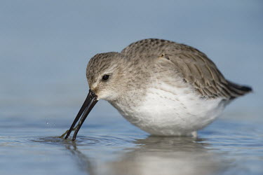 A dunlin searches for food in the shallow blue water on a sunny day shorebird,bird,birds,bill,brown,feeding,grey,reflection,tongue,water,water drop,water level,white,Dunlin,Calidris alpina,Chordates,Chordata,Aves,Birds,Charadriiformes,Shorebirds and Terns,Sandpipers,