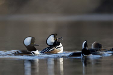A couple of male hooded mergansers perform courtship rituals doing their best to impress the females blue,Hooded Merganser,Waterfowl,action,behaviour,brown,duck,early,female,group,male,morning,reflection,sunlight,sunny,water,water level,white,winter,Hooded merganser,Animal,BIRDS,Blue,behavior,black,l
