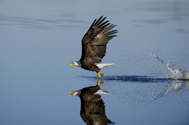 A bald eagle flies over the surface of calm water after making a big splash with its clear reflection showing on a sunny morning Bald eagle,eagle,eagles,raptor,bird of prey,blue,action,brown,calm,feathers,feet,fishing,flight,flying,powerful,reflection,refreshing,splash,strength,strike,talons,water,water drop,white,wing,wings,Ha