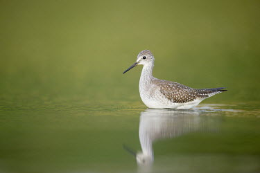 A lesser yellowlegs wades in the shallow water early in the morning Lesser legs,bird,birds,wader,coastal,wetland,sandpiper,brown,early,feather pattern,green,morning,reflection,soft light,tan,water level,white,Lesser yellowlegs,Tringa flavipes,Ciconiiformes,Herons Ibis