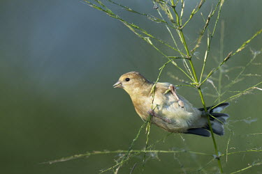 An American goldfinch hangs onto a wild rice plant while it feeds on rice with soft sun shining on the bird American goldfinch,goldfinch,finch,finches,bird,birds,blue,feeding,green,hanging,perched,sunny,white,wild rice,Carduelis tristis,Chordates,Chordata,Aves,Birds,Perching Birds,Passeriformes,Grossbeaks,
