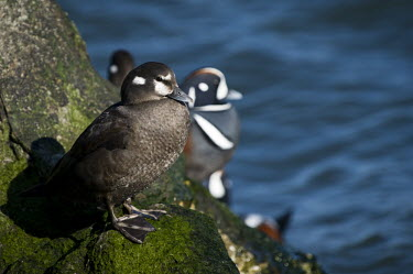 A female harlequin duck stands on a green wet jetty rock on a bright sunny day with a blue water background blue,Harlequin Duck,Waterfowl,boulder,bright,brown,drake,duck,feet,female,green,hen,jetty,male,moss,rock,rocks,sunny,water,water drop,wet,white,Harlequin duck,Histrionicus histrionicus,Chordates,Chord