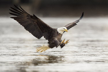 An adult bald eagle throws its talons out in front of it right before grabbing a fish out of the water with its wings spread wide Bald eagle,eagle,eagles,raptor,bird of prey,action,adult,brown,claws,feet,fishing,flying,overcast,reflection,soft light,tail,talons,water,water level,white,wings,Haliaeetus leucocephalus,Accipitridae,