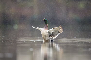 A male mallard duck flaps its wings while sitting on the water in a spring rain Mallard,Waterfowl,action,brown,drake,duck,flapping,green,lake,male,overcast,pond,rain,raindrop,reflection,tan,water,water level,white,wings,Anas platyrhynchos,Mallard duck,Anseriformes,Chordates,Chord