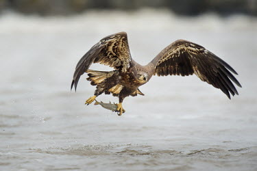 A juvenile bald eagle flies low over the water just after grabbing a fish in its large yellow talons Bald eagle,eagle,eagles,raptor,bird of prey,action,brown,catch,fish,fishing,flying,juvenile,overcast,powerful,soft light,water,water level,white,wings,Haliaeetus leucocephalus,Accipitridae,Hawks, Eagl