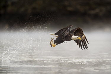 An adult bald eagle grabs a fish from the water early one morning with a big splash behind it as it flies away Bald eagle,eagle,eagles,raptor,bird of prey,action,brown,fish,fishing,flying,morning,motion,powerful,soft light,splash,strong,talons,water drops,white,wings,Haliaeetus leucocephalus,Accipitridae,Hawks