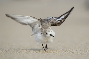 A sanderling walks and flaps its wings on a sandy beach after cleaning its feathers action,beach,brown,cleaning,flapping,funny,grey,sand,shaking,soft light,walking,white,wings,Sanderling,Calidris alba,Charadriiformes,Shorebirds and Terns,Chordates,Chordata,Sandpipers, Phalaropes,Scol