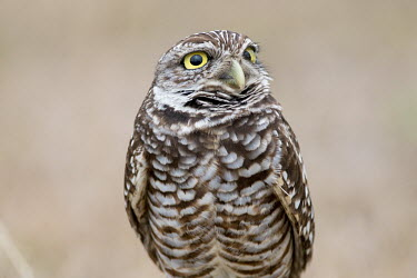 A Florida burrowing owl looks up with its big yellow eyes in front of a smooth brown background owl,owls,predator,raptor,bird,birds,bird of prey,brown,eyes,feathers,overcast,pattern,smooth background,soft light,white,Burrowing owl,Athene cunicularia,True Owls,Strigidae,Aves,Birds,Owls,Strigiform
