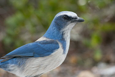A Florida scrub jay stands close by for a portrait with soft overcast light in front of a green background jay,bird,birds,scrub jay,portrait,close,close-up,grey,green,ground,overcast,soft light,white,Florida scrub-jay,Aphelocoma coerulescens,Chordates,Chordata,Crows, Ravens, Jays,Corvidae,Aves,Birds,Perchi
