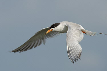 A Forsters tern glides on the air currents on a sunny afternoon with a smooth grey background blue,Forsters tern,tern,terns,bird,birds,seabird,shorebird,coastal,coast,feather,feathers,flight,flying,grey,movement,orange,sky,soaring,sunny,white,wing,wings,Forster's tern,Sterna forsteri,Aves,Bird