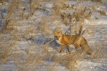 The late evening sun was just right as the red fox stood in the tall dune grass Island Beach State Park,cold,fox,fur,orange,red fox,snow,white,winter,Red fox,Vulpes vulpes,Chordates,Chordata,Mammalia,Mammals,Carnivores,Carnivora,Dog, Coyote, Wolf, Fox,Canidae,Renard Roux,Zorro Ro