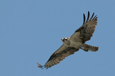 An osprey flies in front of a bright blue sky with its wings outstretched on a sunny day blue,blue Sky,bird,birds,bird of prey,raptor,hawk,angry,bright,calling,eyes,feathers,flying,sunny,white,wings,Osprey,Pandion haliaetus,Aves,Birds,Accipitridae,Hawks, Eagles, Kites, Harriers,Ciconiifor