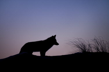 A red fox pauses for a moment on the top of a sand dune against the purple and blue dusk sky blue,Silhouette,cold,dusk,fox,fur,orange,purple,red fox,white,winter,Red fox,Vulpes vulpes,Chordates,Chordata,Mammalia,Mammals,Carnivores,Carnivora,Dog, Coyote, Wolf, Fox,Canidae,Renard Roux,Zorro Roj