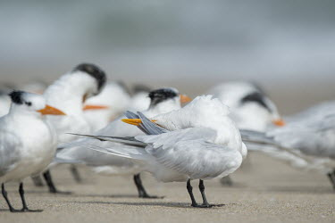 A royal tern preening tern,seabirds,bird,birds,gull,beach,bright,cleaning,feathers,feet,flock,funny,grey,group,orange,preening,sand,white,wing,Royal tern,Sterna maxima,Charadriiformes,Shorebirds and Terns,Laridae,Gulls, Te