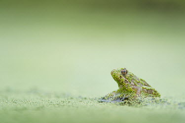 A small frog sits covered in duckweed on a submerged stick against a smooth green background amphibian,duckweed,eye,frog,green,shiny,soft light,water level,wet,Common frog,Rana temporaria,Anura,Frogs and Toads,Amphibians,Amphibia,Ranidae,Ranids,Chordates,Chordata,Rana Bermeja,Aquatic,liui,tem