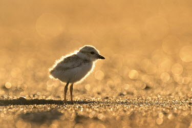 Piping plover chick glows in the early morning sunlight as it stands on a sandy beach plover,bird,birds,shorebird,Piping Plover,backlight,beach,bright,brown,chick,early,glowing,morning,sand,sunny,tan,Piping plover,Charadrius melodus,Aves,Birds,Charadriiformes,Shorebirds and Terns,Chara