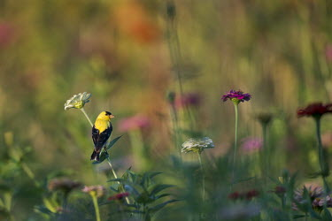 A male American goldfinch perches on a white Zinnia flower in a garden full of colour on an early summer morning American goldfinch,goldfinch,finch,finches,bird,birds,early,flower,flowers,green,morning,orange,perched,pink,red,sunny,white,zinnia,Carduelis tristis,Chordates,Chordata,Aves,Birds,Perching Birds,Passe