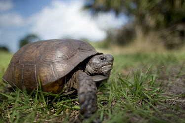 A gopher tortoise walking in green grass with a blue sky behind it on a bright sunny day blue sky,tortoise,reptile,reptiles,brown,close,face,grass,green,shell,sunny,texture,walking,wide angle,Gopher tortoise,Gopherus polyphemus,Chordates,Chordata,Tortoises,Testudinidae,Reptilia,Reptiles,T