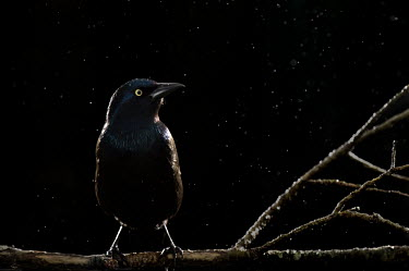 A Common grackle perched on a bare  branch against a black background in the rain bird,birds,Common grackle,backlight,bird feeder,dark,dramatic,feeder,flash,iridescent,parents house,perched,rain,sparkle,grackle,Quiscalus quiscula,Animal,BIRDS,Blue,Branch,Common Grackle,black,nature