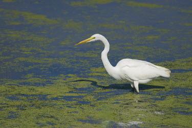 A great egret wades in the shallow duckweed covered water on a bright sunny day with its shadow on the water egret,bird,birds,wader,bright,duckweed,green,shadow,stalking,sunny,wading,water,white,Great egret,Casmerodius albus,Ciconiiformes,Herons Ibises Storks and Vultures,Herons, Bitterns,Ardeidae,Chordates,