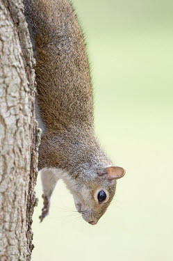 A grey squirrel climbs down the side of a tree in soft light with a smooth green background bark,brown,clinging,cute,ears,fur,furry,grey,gray squirrel,green,tame,tree,white,Grey squirrel,Sciurus carolinensis,Rodents,Rodentia,Squirrels, Chipmunks, Marmots, Prairie Dogs,Sciuridae,Chordates,Cho