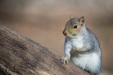 A grey squirrel poses for a moment on a large tree bark,brown,fur,furry,grey,gray squirrel,sitting,squirrel,tree,whiskers,white,Grey squirrel,Sciurus carolinensis,Rodents,Rodentia,Squirrels, Chipmunks, Marmots, Prairie Dogs,Sciuridae,Chordates,Chordat