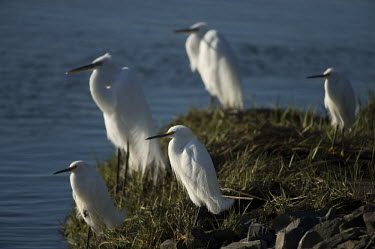 A group snowy and great egrets stand together on a shoreline in the morning sun blue,Great Egret,Snowy egret,egret,bird,birds,brown,flock,grass,green,group,rocks,shore,standing,sunny,water,white,Egretta thula,Snowy Egret,Herons, Bitterns,Ardeidae,Chordates,Chordata,Aves,Birds,Cic