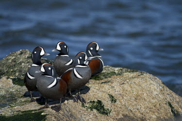 A group of male harlequin ducks stand together on a jetty rock on a bright sunny day blue,Harlequin Duck,Waterfowl,brown,drake,duck,flock,grey,group,jetty,male,rock,rust,rust colour,striking,water,white,Harlequin duck,Histrionicus histrionicus,Chordates,Chordata,Aves,Birds,Ducks, Gees