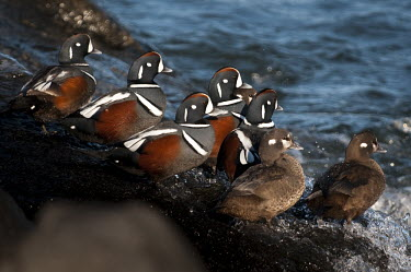 A flock of harlequin ducks stand on a rocky jetty with waves crashing on them on a bright sunny day blue,Harlequin Duck,Waterfowl,brown,drake,duck,female,flock,grey,group,hen,jetty,male,ocean,rocks,rust colour,splash,standing,sunny,water,wave,white,winter,Harlequin duck,Histrionicus histrionicus,Cho
