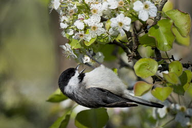 A cute Carolina chickadee hangs from a branch filled with spring white flowers and bright green leaves on a sunny day Carolina Chickadee,chickadee,bird,birds,Animalia,Chordata,Aves,Passeriformes,Paridae,Poecile carolinensis,flowers,grey,green,hanging,leaves,perched,spring,sunny,white,Animal,BIRDS,black,gray,nature,wi