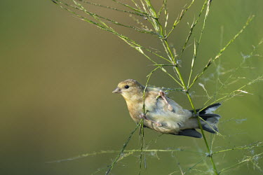 An American goldfinch hangs from a wild rice plant as the soft early morning sun shines on with a smooth background American goldfinch,goldfinch,finch,finches,bird,birds,feeding,green,hanging,perched,smooth background,sunny,white,wild rice,Carduelis tristis,Chordates,Chordata,Aves,Birds,Perching Birds,Passeriformes