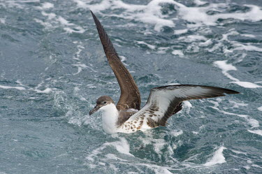 A great shearwater sits in the ocean with its wings raised up high in soft light blue,Great Shearwater,Pelagic,brown,ocean,overcast,soft light,swimming,water,white,wings,Great shearwater,Puffinus gravis,Ciconiiformes,Herons Ibises Storks and Vultures,Procellariidae,Shearwaters and