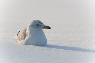A herring gull sits in shallow snow as the sun shines from behind it on a cold winter day blue,Herring Gull,alone,bright,cold,eye,grey,high key,shadow,sitting,snow,solitude,sunlight,sunny,white,winter,Herring gull,BIRDS,Blue,animal,gray,low angle,nature,wildlife,yellow