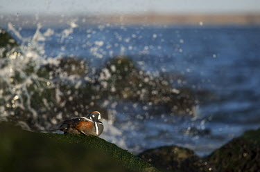 A male harlequin duck rests on a seaweed covered rock on a bright sunny morning as a wave crash blue,Harlequin Duck,Waterfowl,action,drake,duck,grey,green,horizon,jetty,male,rock,rust colour,scenic,seaweed,sitting,splash,sunny,water,wave,white,winter,Harlequin duck,Histrionicus histrionicus,Chor