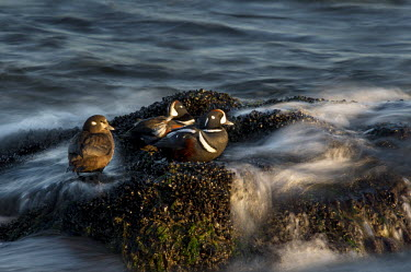 A trio of harlequin ducks rest on rocks covered with mussels with the ocean waves swirling around blue,Harlequin Duck,Waterfowl,drake,duck,early,female,golden,grey,green,group,hen,jetty,long exposure,male,morning,motion blur,mussels,resting,rock,rust colour,seaweed,sun,sunny,water,white,Harlequin