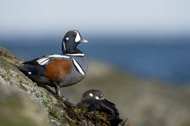 A male harlequin duck keeps a lookout as a female sits on a jetty rock blue,Harlequin Duck,Waterfowl,alert,brown,duck,female,grey,horizon,jetty,male,perched,rock,rocks,rust,seaweed,water,white,Harlequin duck,Histrionicus histrionicus,Chordates,Chordata,Aves,Birds,Ducks,