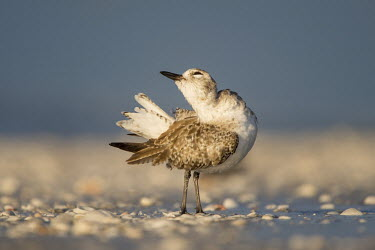 A black-bellied plover stands on the beach in the early morning sunlight, preening its tail Black-bellied plover,bird,birds,blue,plover,beach,brown,early,feathers,funny,morning,preening,shells,sunlight,white,Grey plover,Pluvialis squatarola,Aves,Birds,Ciconiiformes,Herons Ibises Storks and V
