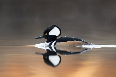 A drake hooded merganser floats on the calm surface of the water with a clear reflection of the duck Hooded Merganser,Waterfowl,brown,drake,duck,early,male,morning,orange,reflection,sunrise,swimming,water,water drop,water level,white,BIRDS,animal,black,low angle,wildlife,yellow