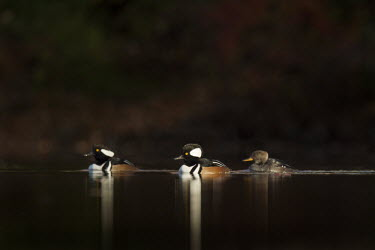 Two male and one female hooded merganser swim along on a pond in the morning sun with a dark background Hooded Merganser,Waterfowl,brown,drake,dramatic,duck,early,eye,female,group,male,morning,pond,reflection,sun,swimming,trio,water level,white,BIRDS,animal,black,low angle,wildlife,yellow