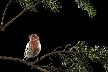 A male house finch is perched on a pine branch against a black background House Finch,backlight,backyard,bird feeder,blue spruce,brown,dramatic,feeder,flash,grey,perched,pine,red,white,Animal,BIRDS,Branch,gray,nature,wildlife