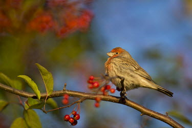 A male house finch sits perched on a branch full of red berries as the early morning sun shines on him crab apple,House Finch,berries,brown,early,grey,green,leaf,morning,perched,red,sunlight,tree,white,House finch,BIRDS,Branch,Crabapple,animal,black,gray,wildlife