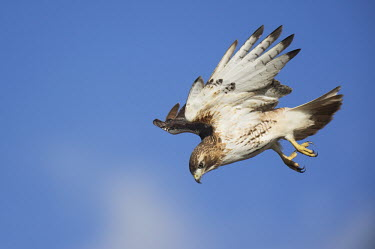 A red-tailed hawk flies down to the ground hunting for rodents on a bright sunny day blue,blue Sky,Red-tailed hawk,hawk,bird of prey,raptor,bird,birds,action,brown,feathers,flying,sunny,talons,white,wings,Buteo jamaicensis,Falconiformes,Hawks Eagles Falcons Kestrel,Aves,Birds,Chordate