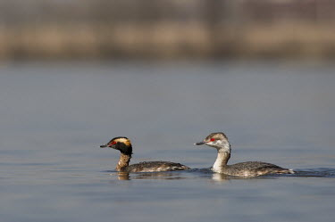 A pair of horned grebes swimming on a calm river on a sunny day blue,GREBES,Horned Grebe,brown,eye,eyes,female,grey,male,pair,red,small,swimming,water,water level,white,Horned grebe,Podiceps auritus,Grebes,Podicipediformes,Ciconiiformes,Herons Ibises Storks and Vu