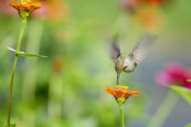 A female ruby-throated hummingbird feeds on a Zinnia flower in a garden of flowers hummingbird,Ruby-throated hummingbird,bird,birds,action,colourful,fast,feeding,female,flying,garden,green,hovering,motion,motion blur,movement,orange,pink,soft light,white,wings,zinnia,Archilochus col