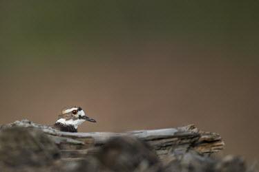 A killdeer hides behind an old log only peeking its head out to look around Killdeer,Log,PLOVERS,brown,driftwood,hiding,orange,tan,white,wood,Charadrius vociferus,Charadriidae,Lapwings, Plovers,Aves,Birds,Chordates,Chordata,Ciconiiformes,Herons Ibises Storks and Vultures,Char