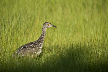A juvenile yellow-crowned Night heron walks along the bright green marsh grass on a sunny morning heron,bright,brown,eye,grass,green,juvenile,marsh,orange,sunny,white,young,bird,birds,Yellow-crowned night-heron,Nyctanassa violacea,Yellow-crowned Night-Heron,Aves,Birds,Chordates,Chordata,Ciconiifor