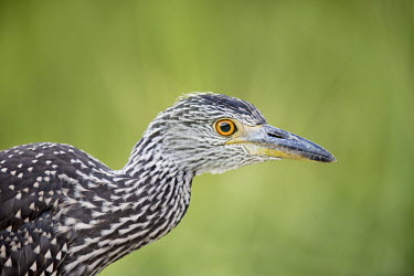A juvenile yellow-crowned Night heron stops in the shade in front of a bright green background Portrait,brown,close,close-up,detail,grass,green,juvenile,marsh,orange,shade,white,heron,bird,birds,Yellow-crowned night-heron,Nyctanassa violacea,Yellow-crowned Night-Heron,Aves,Birds,Chordates,Chord